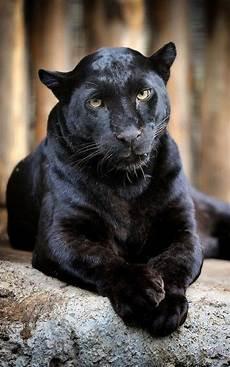 jaguar animal noir 3272 besten schwarzer panther jaguar u leopard bilder