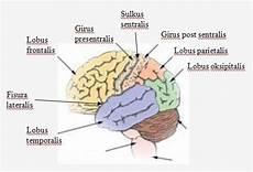 Lobus Frontalis Otak Bagian Depan Hemisfer Articles