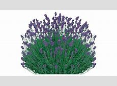 Sketchup Components 3D Warehouse   Lavender Flower