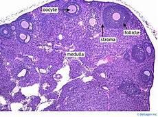 Ovary Histology Ovary Labels Histology Slide