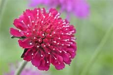 mazedonische witwenblume pflanzen pflege und vermehrung