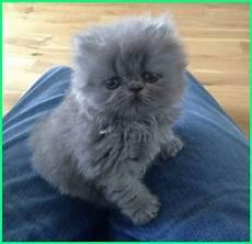 Gambar Kucing Warna Abu Abu