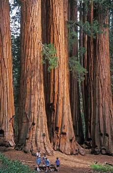 eqoi7a sequoia plant britannica