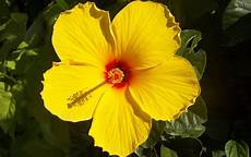 hibiscus entretien hibiscus ou alth 233 a hibiscus syriacus plante taille