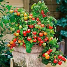 Tomate Lycopersicon Esculentum