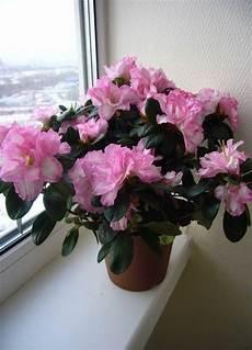 coltivare azalee in vaso azalea azalea piante da giardino caratteristiche