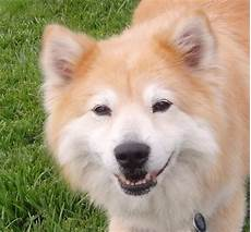 dog of the day dodge the shiba inu chow mix the dogs of san franciscothe dogs of san francisco