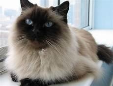 himalayan cats 17 best himalayan cats images on kawaii cat
