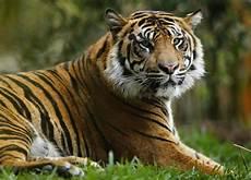three legged tiger bites who trespassed at