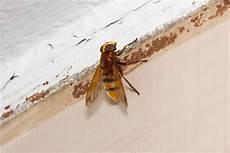 wespen im mauerwerk professionelle umsiedlung wespen und hornissen erik