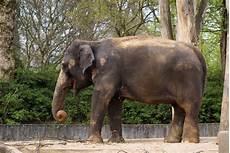 Malvorlage Indischer Elefant Elefant Foto Afrikanischer Elefant Indischer Elefant