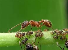 ameisen im wohnzimmer ameisen zu hause ameisenfallen ungeziefer im haus