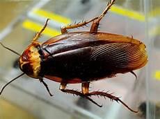 können kakerlaken fliegen kakerlaken zikaden und co diesen insekten begegnet