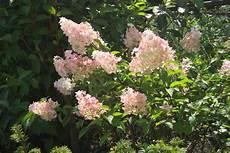 Rispenhortensie Vanille Fraise Hydrangea Paniculata