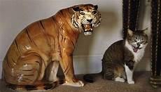 Gambar Kucing Dan Harimau Nano Gambar