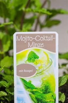 mojito minze mentha mojito g 252 nstig kaufen