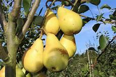 wann sind äpfel reif wann birnen geerntet werden und wann sie reif sind