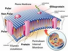 Struktur Dan Fungsi Organel Sel Tumbuhan Hewan Lengkap