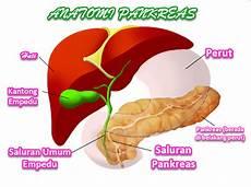 Anatomi Pankreas Serta Fungsi Pankreas