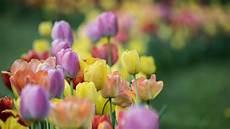Tulpen Pflanzen Wann Ist Der Beste Zeitpunkt Und Wie Gehe