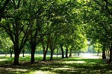 growing walnut trees for profit profitable plants digest