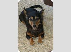 Minnie   Adopted Dog   Cantonment, FL   Chihuahua