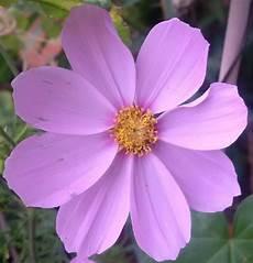 blume lila was ist das f 252 r eine lila blume garten blumen