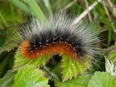 Identifying Caterpillars Wildlife Insight