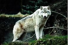 Wolf Wallpaper Blue