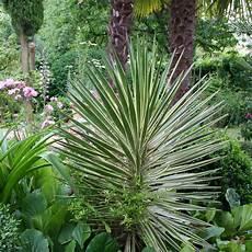 Yucca Planter Et Tailler Ooreka