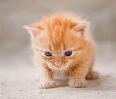 gatti persiani da adottare cerco in regalo gattino rossiccio tigrato petpassion