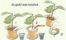 Zimmerpflanzen Richtig Gie 223 En Pflanzenfreunde
