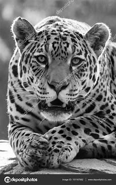 Animal Beau Jaguar Photographie Ebfoto 169 151167062