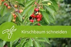 Kirschbaum Schneiden 4 Schnitttechniken F 252 R 2 Sorten