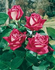 rosai a grandi fiori principali variet 224 di