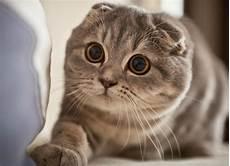 Kucing Scottish Fold Ciri Keunikan Cara Merawat Dan Harga