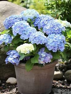 hydrangea macrophylla endless summer 174 blau bauern