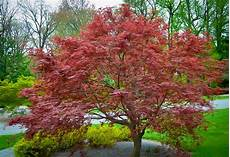 Sherwood Japanese Maple For Sale The Tree