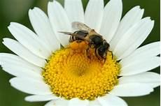 Malvorlage Biene Und Blume Biene Auf Bl 252 Te Honey Bee On Flower Pictures For