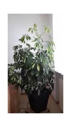 zimmerpflanzen groß pflegeleicht zimmerpflanzen in karlsruhe pflanzen garten g 252 nstige
