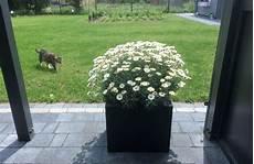 margeriten pflege im topf margeriten pflanzen und pflegen so wird s gemacht