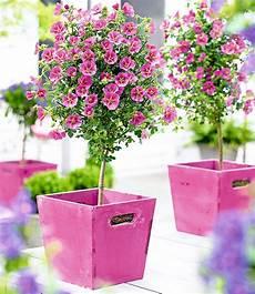 Blumen Sonniger Standort - kapmalven st 228 mmchen elegans 1a pflanzen baldur garten