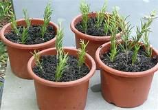 rosmarin schnell und einfach selbst vermehren plantura