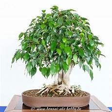 bonsai ficus benjamini bonsaiausstellung ak aichtal filder 2017 teil 2 bonsai