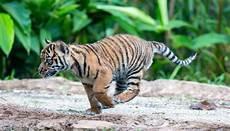 Foto Lucu Anak Harimau Kumpulan Gambar Bagus