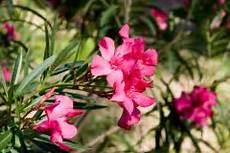 Oleander Draussen überwintern - oleander drau 223 en 252 berwintern 187 wann und wie geht das