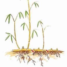 bambus vermehren mein sch 246 ner garten