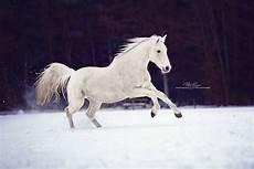 Ausmalbilder Pferde Im Winter Pt Arts Fotografie Tierfotografie Pferde Warmblut Schimmel