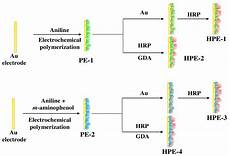 sensors free full text horseradish peroxidase hrp immobilized poly aniline co m