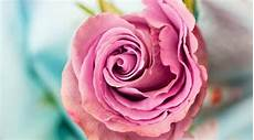 Signification Des Roses Symbolique Des Fleurs Gerri Fr